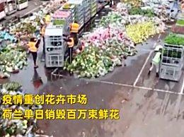 荷兰销毁百万鲜花 郁金香滞销大量销毁太可惜