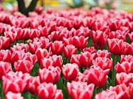 荷兰销毁百万鲜花 花卉市场遭遇百年危机
