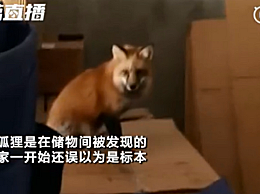 小狐狸闯进幼儿园淡定吃火腿 网友直呼:敲可爱
