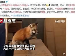 小狐狸闯进幼儿园被以为是标本 狐狸将交由动物园处置