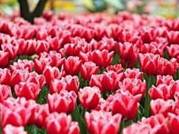 荷兰销毁百万鲜花 因疫情致花卉需求数量骤减