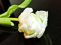 栀子花和茉莉花哪个香味好闻?有什么不同哪个更好养