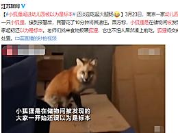 小狐狸闯进幼儿园被以为是标本 民警花了10分钟将其逮住
