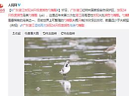 广东湛江发现34只极度濒危勺嘴鹬 其数量远远少于大熊猫
