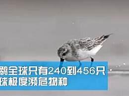 广东湛江发现34只极度濒危勺嘴鹬 数量远少于大熊猫