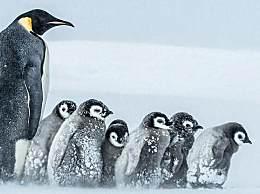 世界上体型最大的企鹅是什么?世界上最大的企鹅,帝企鹅身高克达