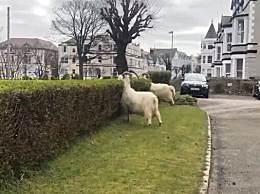 威尔士小镇被山羊接管 大摇大摆地闲逛,还啃绿化和花