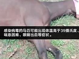 泰国突发非洲马瘟