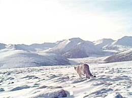 青海西宁首次监测到雪豹