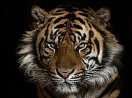 美国一只老虎新冠病毒检测呈阳性 美首次动物中招
