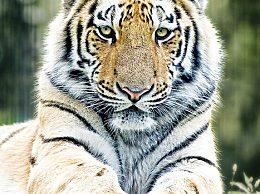 美国一只老虎新冠病毒检测呈阳性 被无症状员工感染