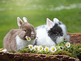 复活节兔子有什么象征意义?复活节兔子的象征意义和由来