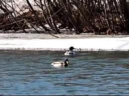 吉林发现中华秋沙鸭 中华秋沙鸭属全球濒危鸟类