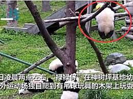 大熊猫幼仔绳绕颈
