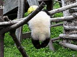 大熊猫幼仔绳子绕颈窒息死亡