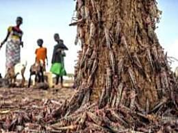 非洲新一轮蝗灾规模