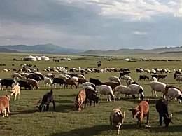 蒙古国赠送的3万只羊正加紧贴春膘