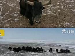 祁连山千头野牦牛踏雪迁徙