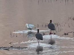 河北窟窿山水库迎来黑鹳等珍稀鸟类 是我国一级重点保护野生动物