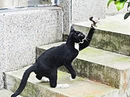 粮油店小黑猫专捉了老鼠玩儿 老鼠活活被玩儿死