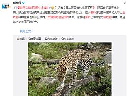 秦岭再次拍摄到野生金钱豹