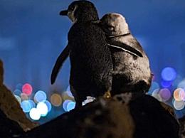 两只企鹅观赏墨尔本夜景 简直像皮克斯电影的场面