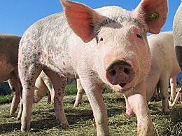 美国一些养猪场考虑给猪安乐死