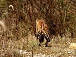 金钱豹现身秦岭 首次拍到野生金钱豹