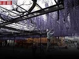 600岁巨型紫藤花被全部剪掉