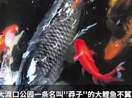 捕网红鲤鱼被拘
