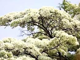 980岁糯米花树进入盛花期