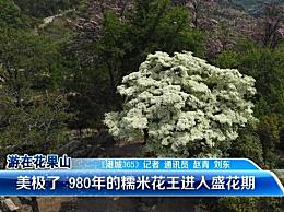 """!980岁""""高龄""""糯米花树进入盛花期"""