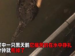网红黑天鹅被炖汤 目击者称疑似一对中年夫妇弹弓所为