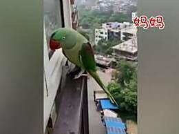 鹦鹉离家出走后反悔了