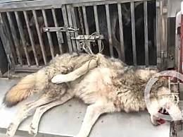 鄂州出逃动物遭猎犬围捕毙命
