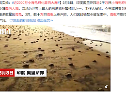 近2000万小海龟孵化奔向大海