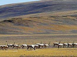 藏羚羊大规模迁徙拉开序幕