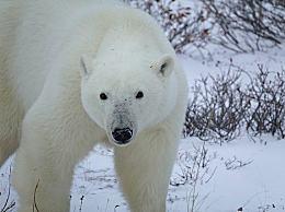 北极熊为什么不怕冷?北极熊的外形特征