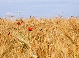 小满过后多少天收麦