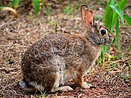 美国兔群爆发致命病毒