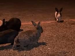 美国兔群爆发病毒