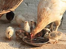 美农场14万只母鸡将安乐死