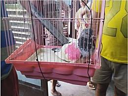 鸽子被指控为间谍面临入狱
