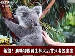 澳动物园诞生林火后首只考拉宝宝