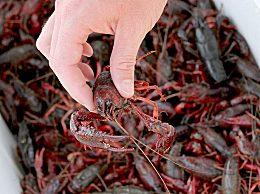 挑选优质肥美小龙虾的方法技巧