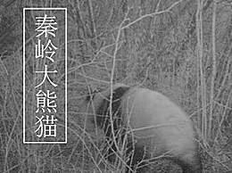 黑河国家森林公园首次发现大熊猫