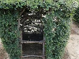 老农耗时17年种出椅子树