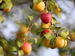 芒种时节为什么煮梅