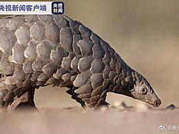 穿山甲升至国家一级保护动物 进一步加大对穿山甲保护力度