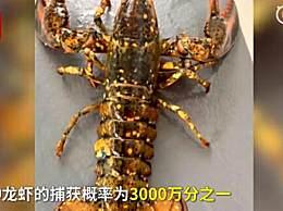 渔民捕获罕见彩色龙虾